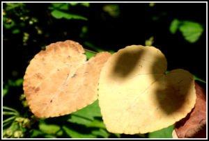 Feuilles de cercidiphyllum
