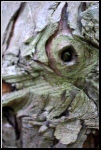 Oeil d'écorce