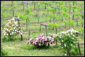 La vigne ornée de rosiers bien à l'abri entre remparts et rivière